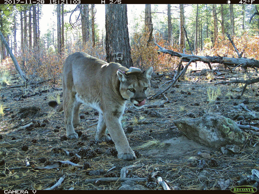State says advances help it better estimate cougar population