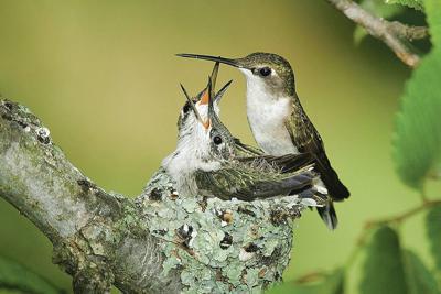 Dip in hummingbird activity predictable in June