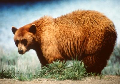 Petition seeks return of grizzly bears to the West