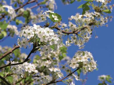 Time to prune fruit trees and shrubs