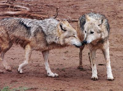 Feds: Wolf recovery program was mismanaged | Local News