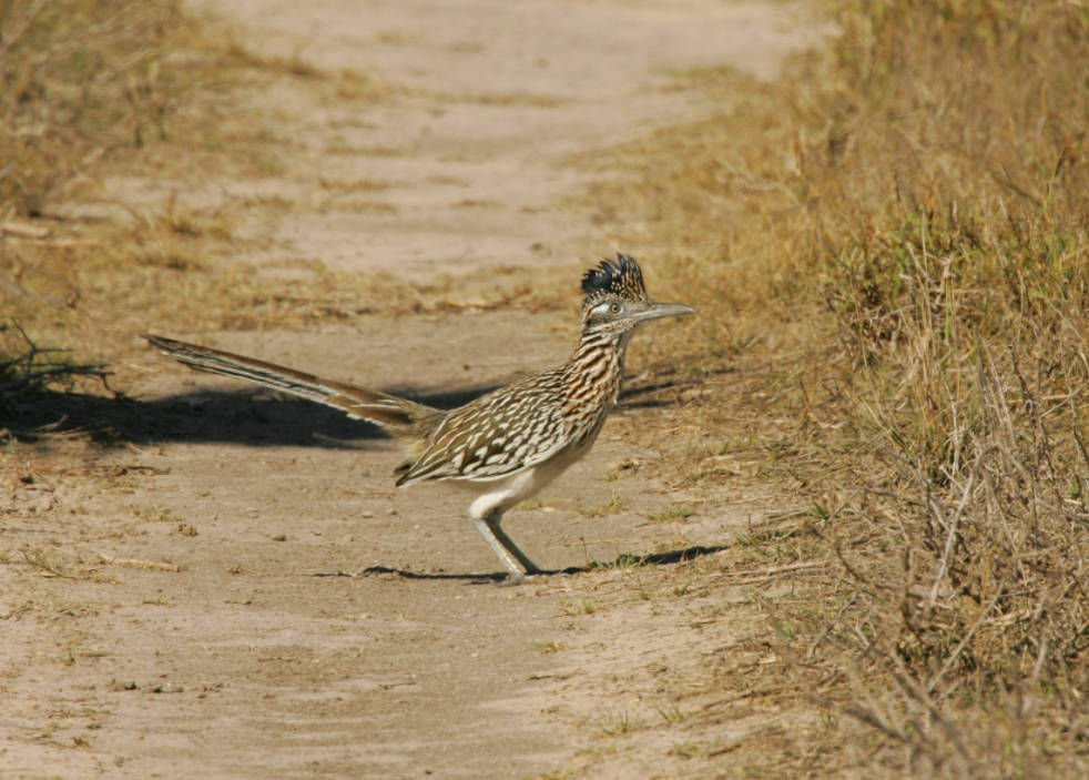 roadrunners a state bird worth strutting over sports