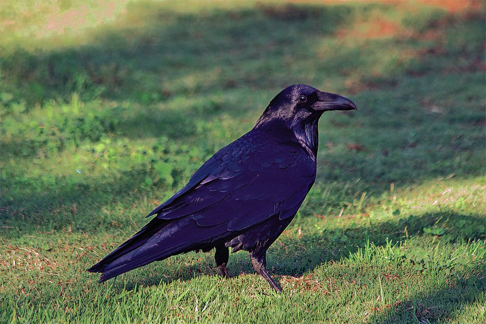 For The Birds Ravens Common And Amazing Local News Santafenewmexican Com