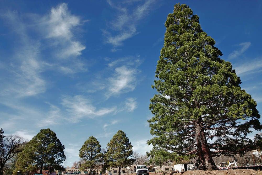 Tree on the move in Santa Fe