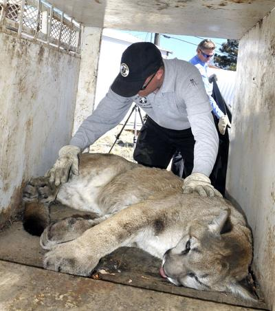 House committee advances measure to remove mountain lion protections