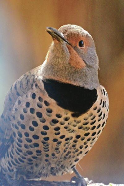 Northern Flicker Female