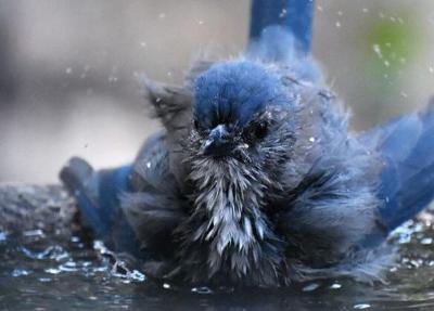 Scrub-Jay at the bath.JPG