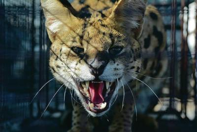 Wayward serval warms up to green chile and is captured unharmed