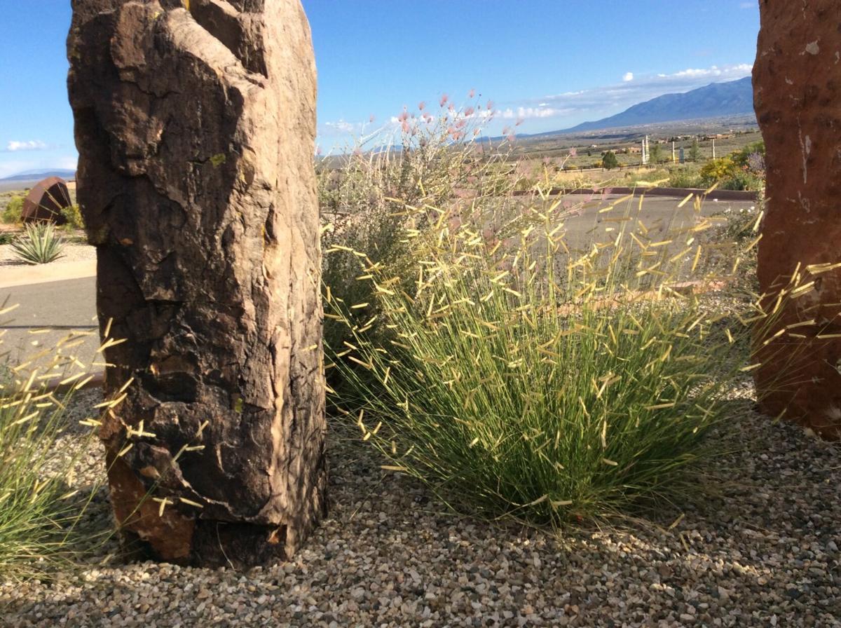 Blond Ambition gramma grass at UNM Taos campus.jpeg
