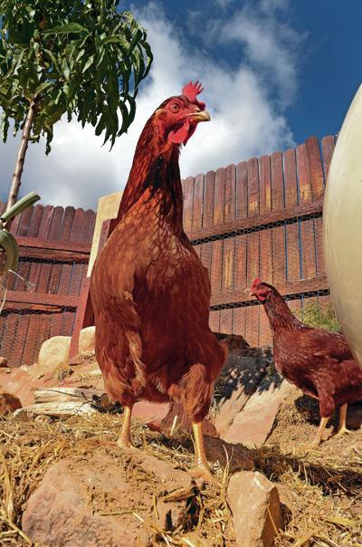 Eldorado welcomes back hens