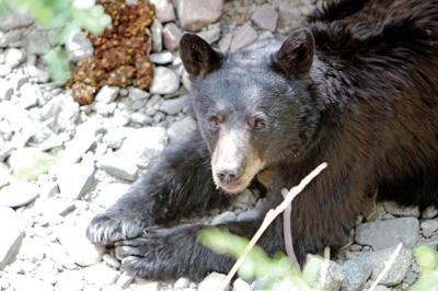State biologist sees no need to feed bears