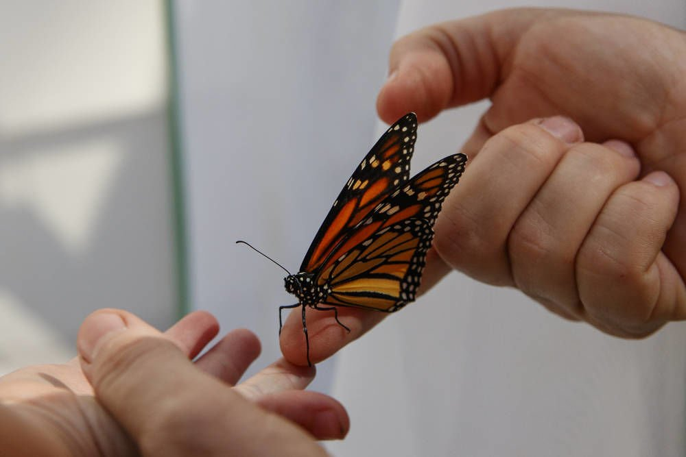 Monarchs in trouble amid severe population decline