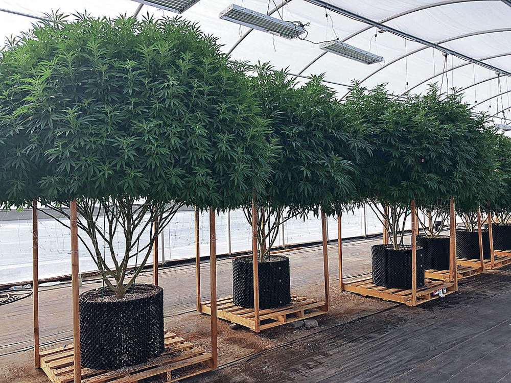 Medical cannabis producer sues state over gross receipts