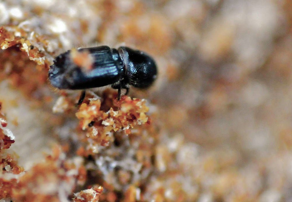 Study: Warm winters could aid spread of bark beetles