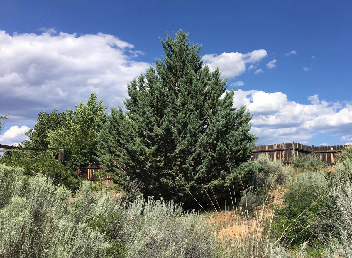 Mstr Grdnrs Arizona cypress.jpg