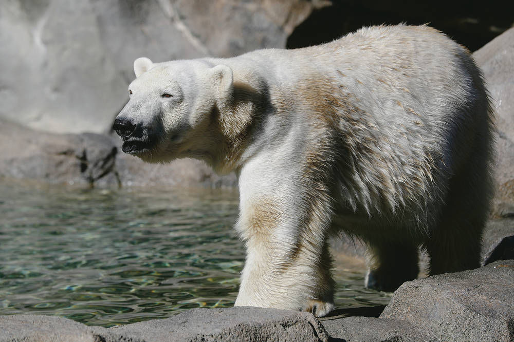 polar bear thesis Focus on regulation authors topics contact published by hogan lovells about hogan lovells we offer timely, effective counsel on a wide variety of matters the listing rule rests on a three-part thesis: the polar bear is dependent upon sea ice for its survival.