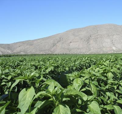 Not too hot to read: Chile Peppers: A Global History