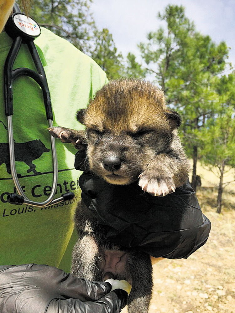 Feds report success in introducing wolf pups to wild litters