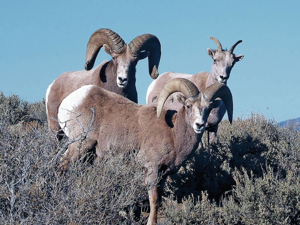 Hunters helping state control bighorn population at Rio Grande Gorge