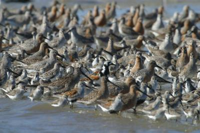 Photo_Shorebirds eating horeshoe crab eggs_Credit_GeorgiaDNR.jpg