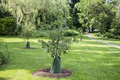 George Field oak tree Cornell photo
