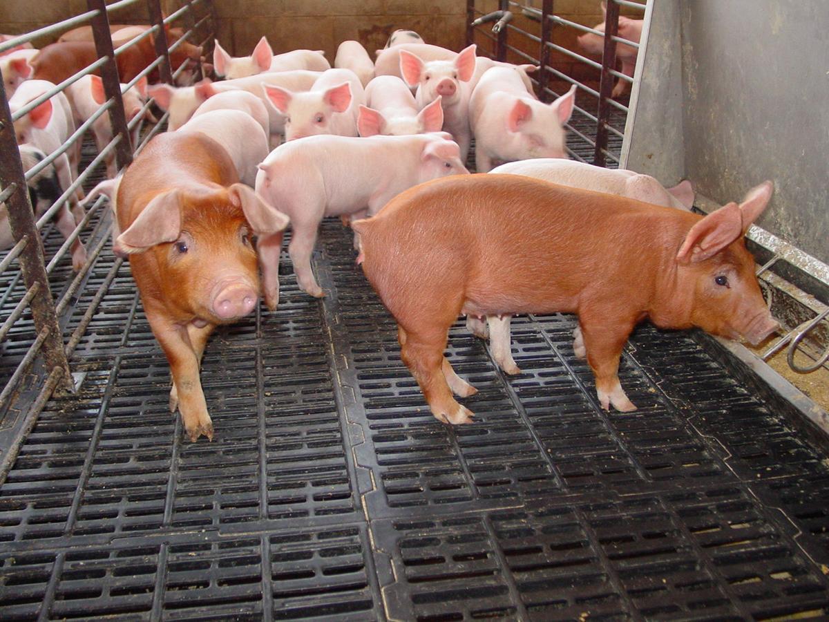 Safe Pigs