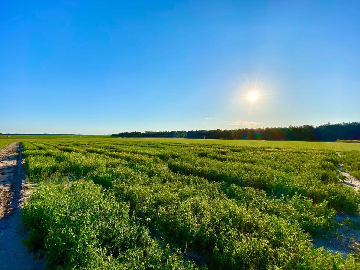 Field pea plot pelion