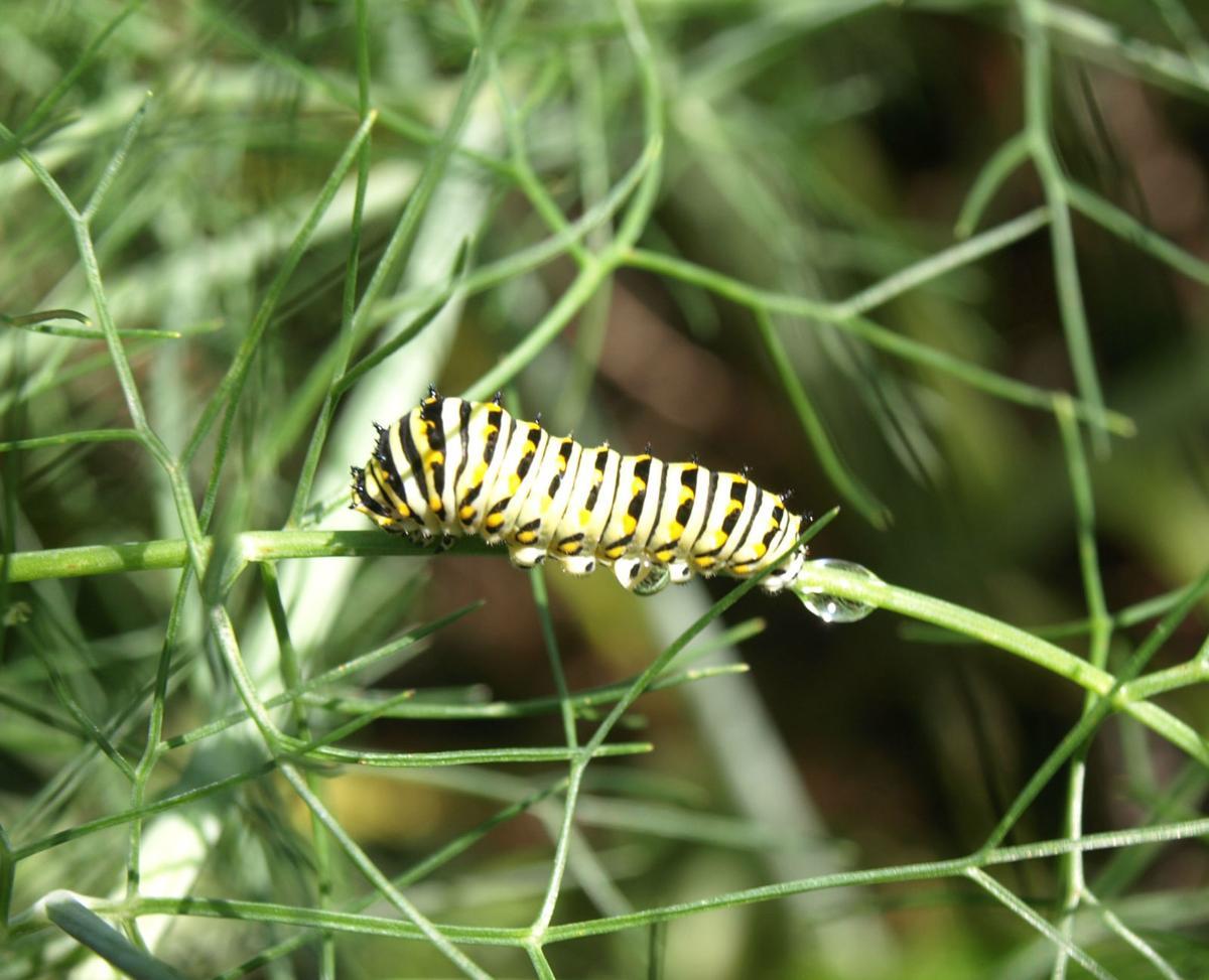 Black Swallowtail Caterpillar (2).jpg