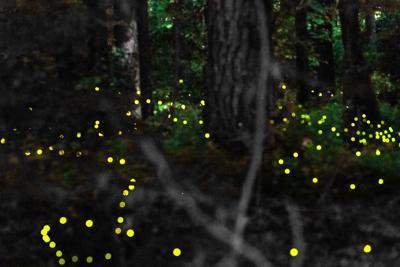 Fireflies at Congaree National Park