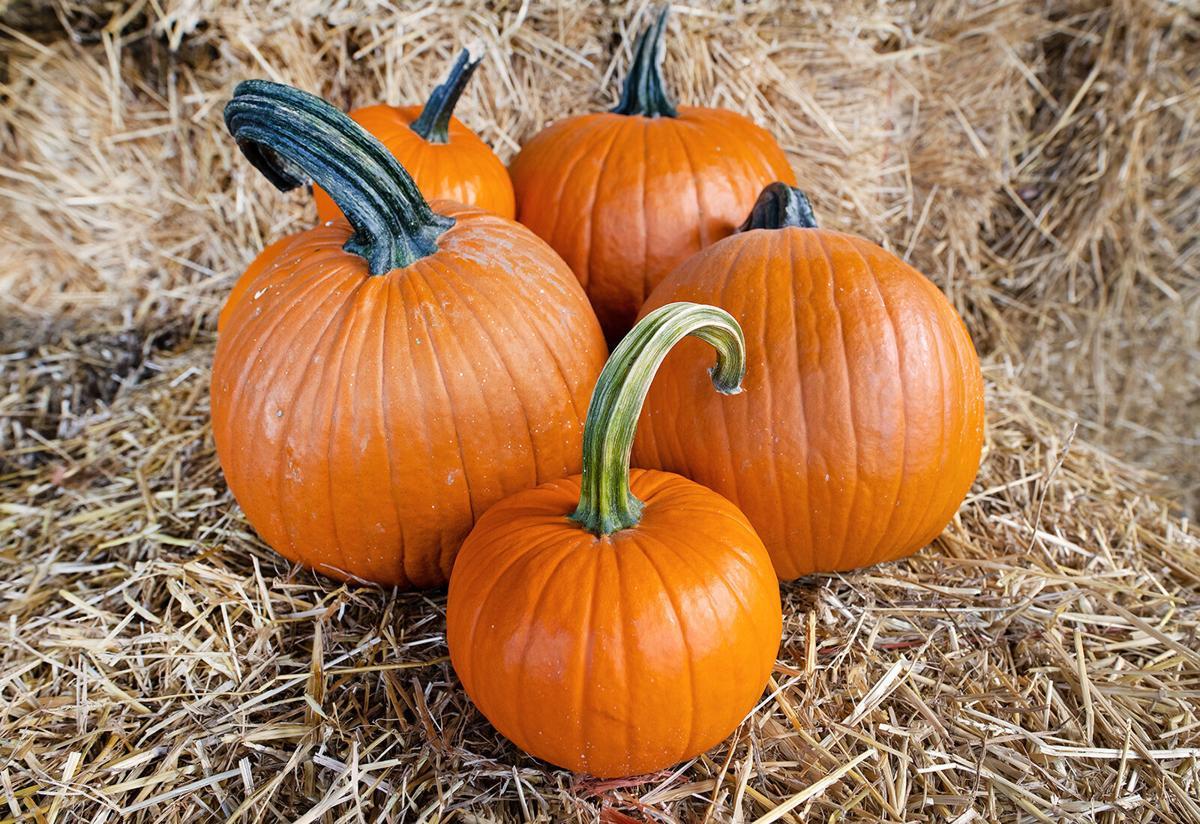 Great Pumpkin farm pumpkins