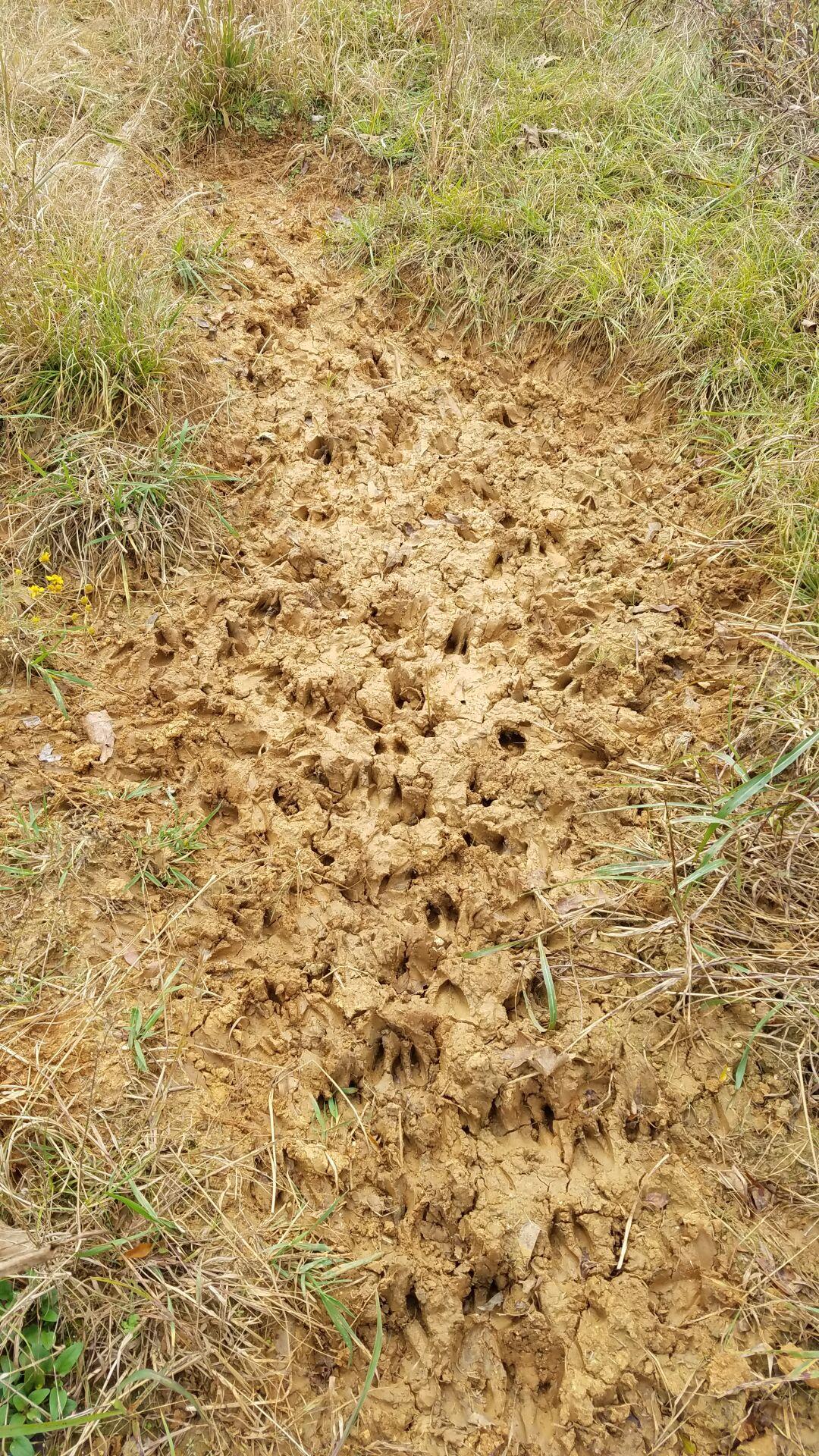 Deer tracks 2