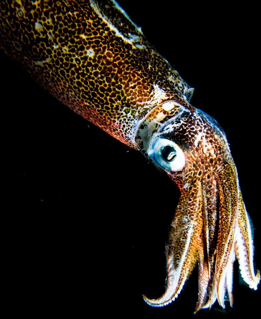 Adult opalescent squid