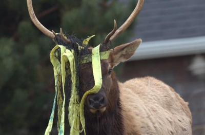 Elk harvested after shucking net