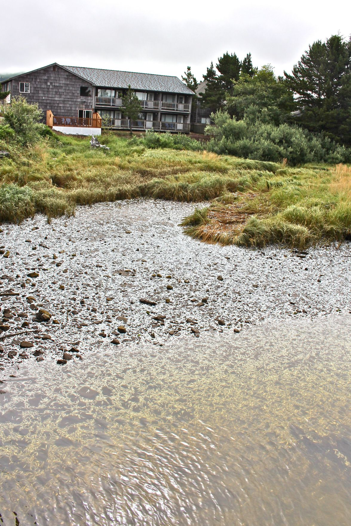 Dead anchovies blanket Necanicum River bank