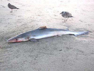 Shark washes ashore in Cannon Beach