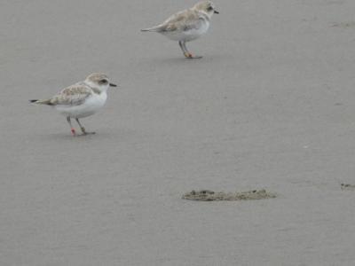 Snowy plover at Gearhart beach
