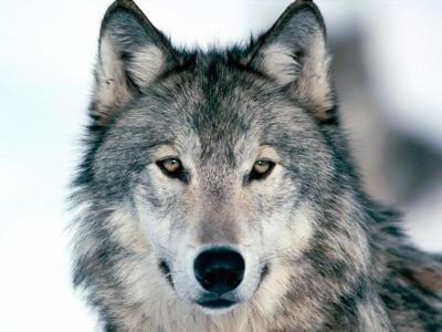 After wolf rescue, wildlife agencies admit, 'We can do better'