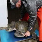 Seaside Aquarium recovers olive ridley turtle