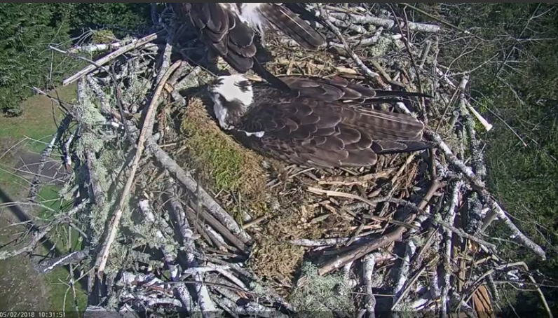 Nature on view as osprey lays first egg of season