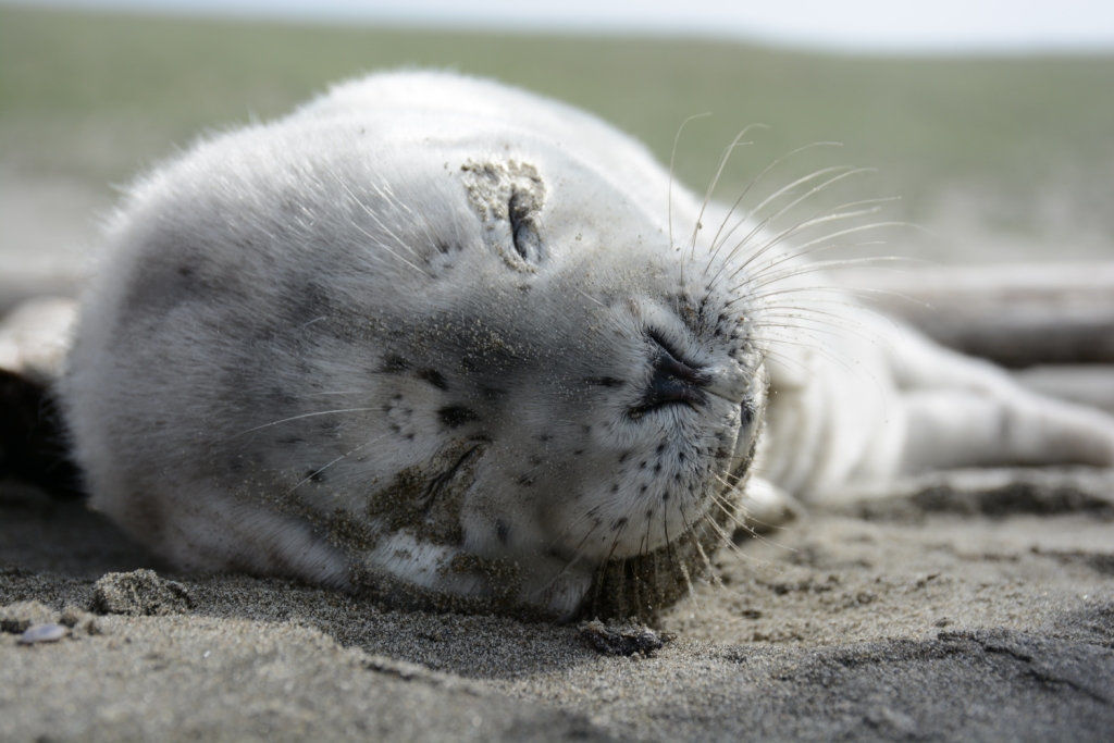 Harbor seal pups on their way