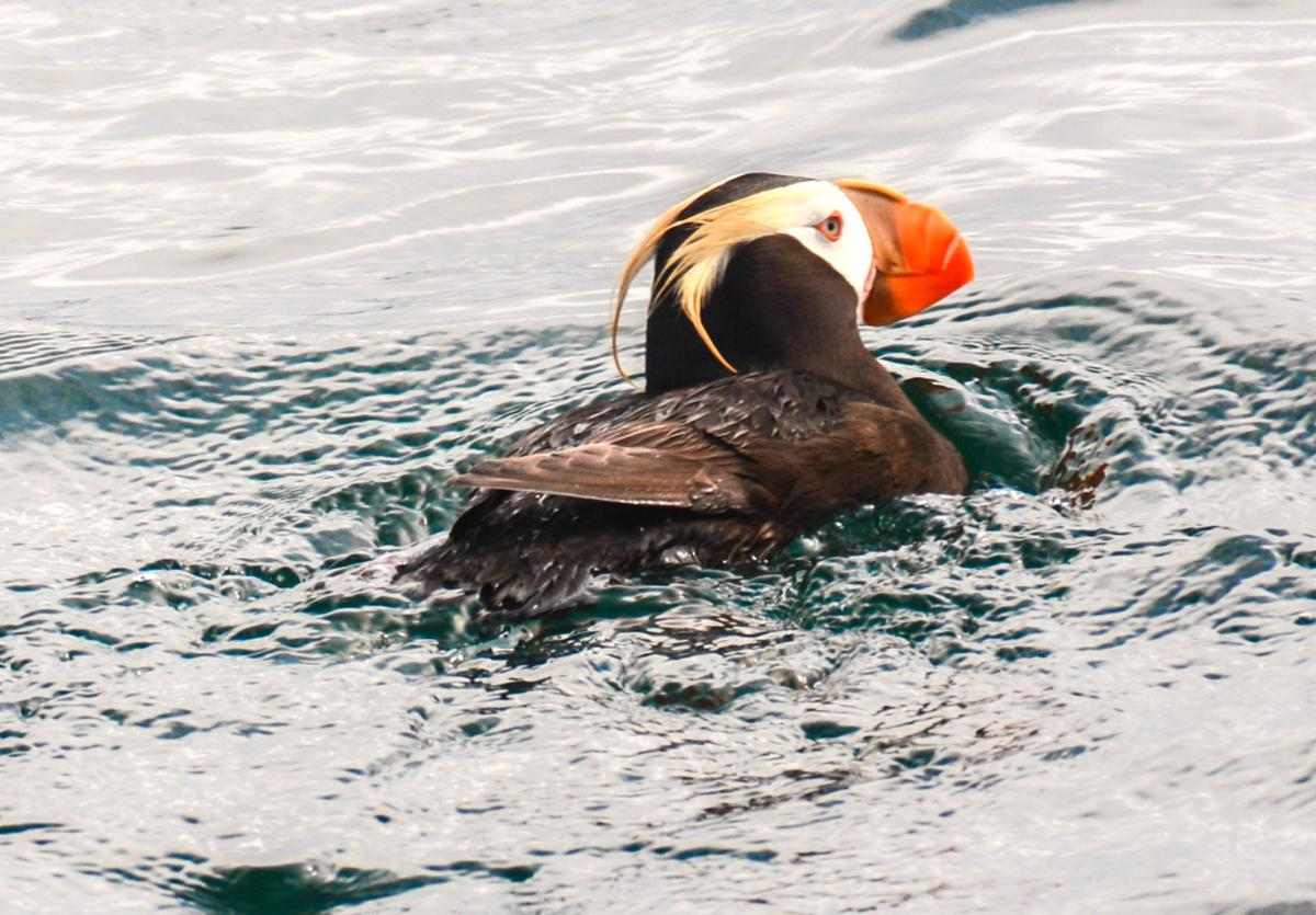 Watching Puffins During A Pandemic