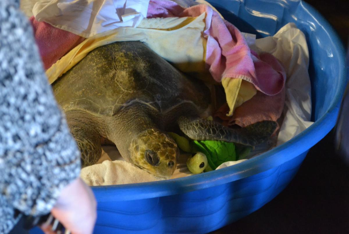 Sea turtle rescued in Tolovana is 'hanging in there'