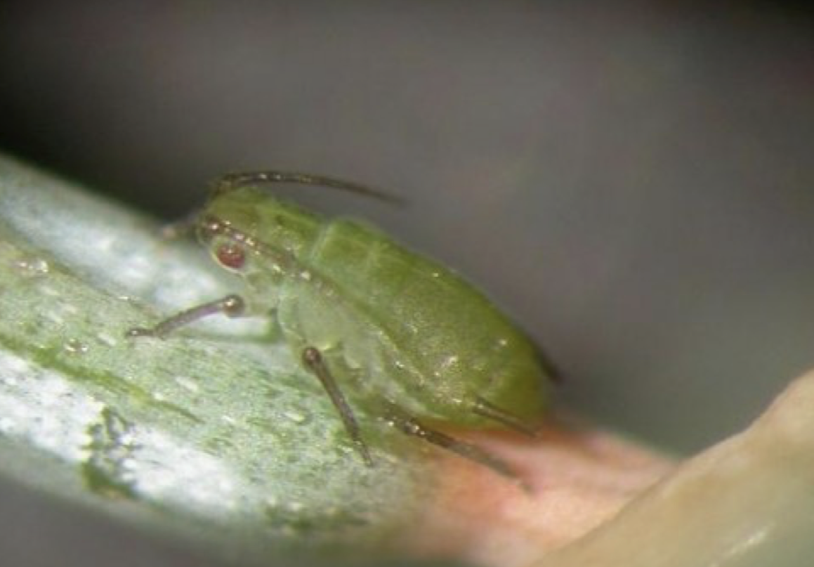Spruce aphid