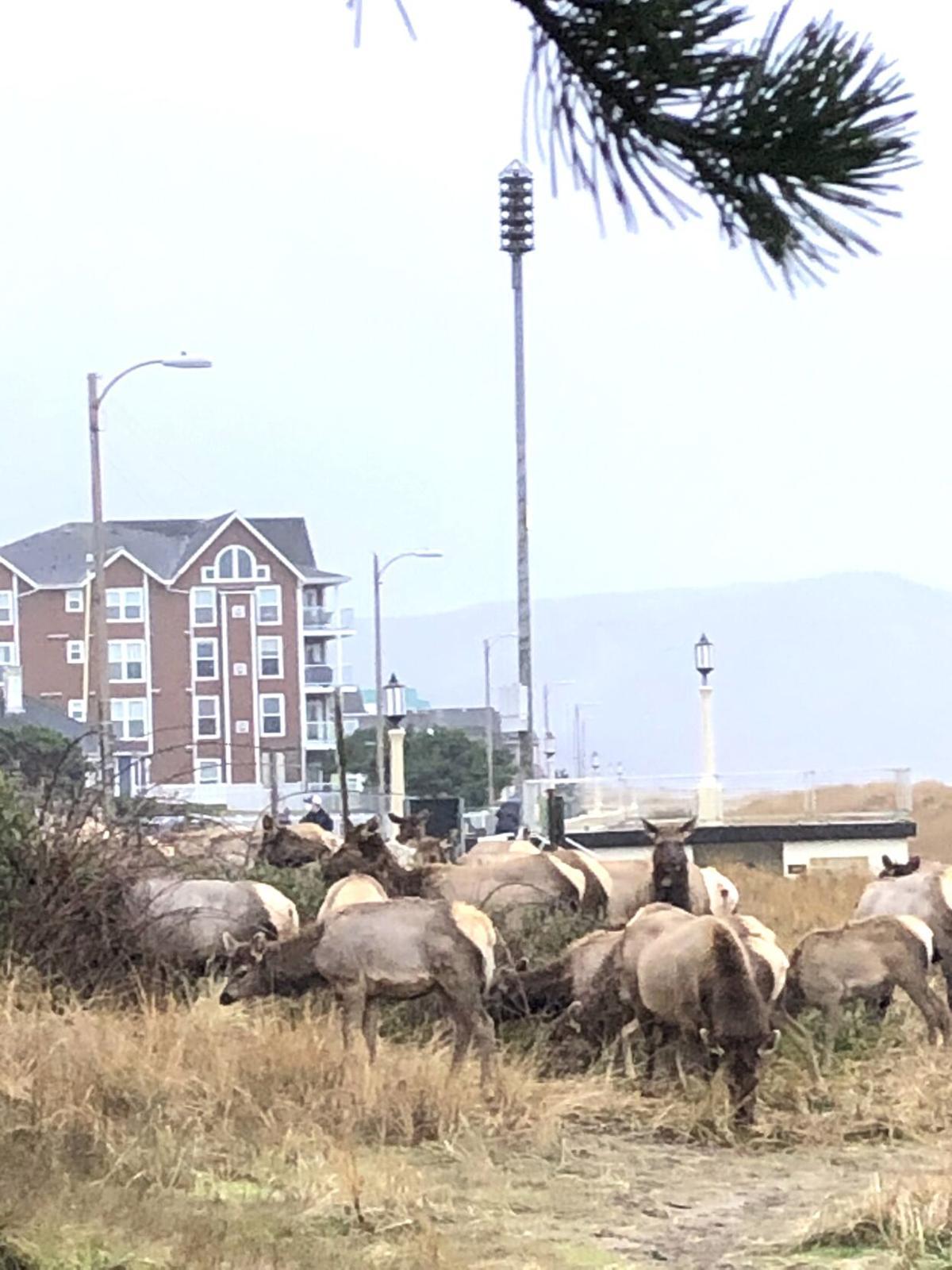 Elk visit
