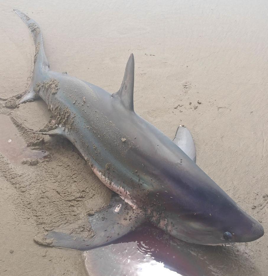 Thresher shark in Manzanita