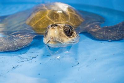 Thanksgiving 'Turkey' the turtle dies after infection