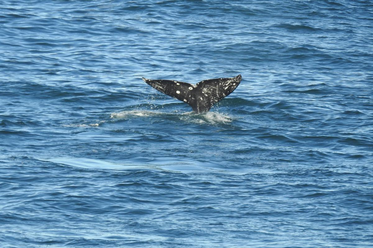 Gray whales on the move