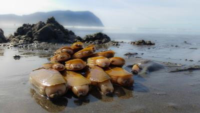 Razor clams on the Seaside beach