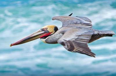 Survey the brown pelican