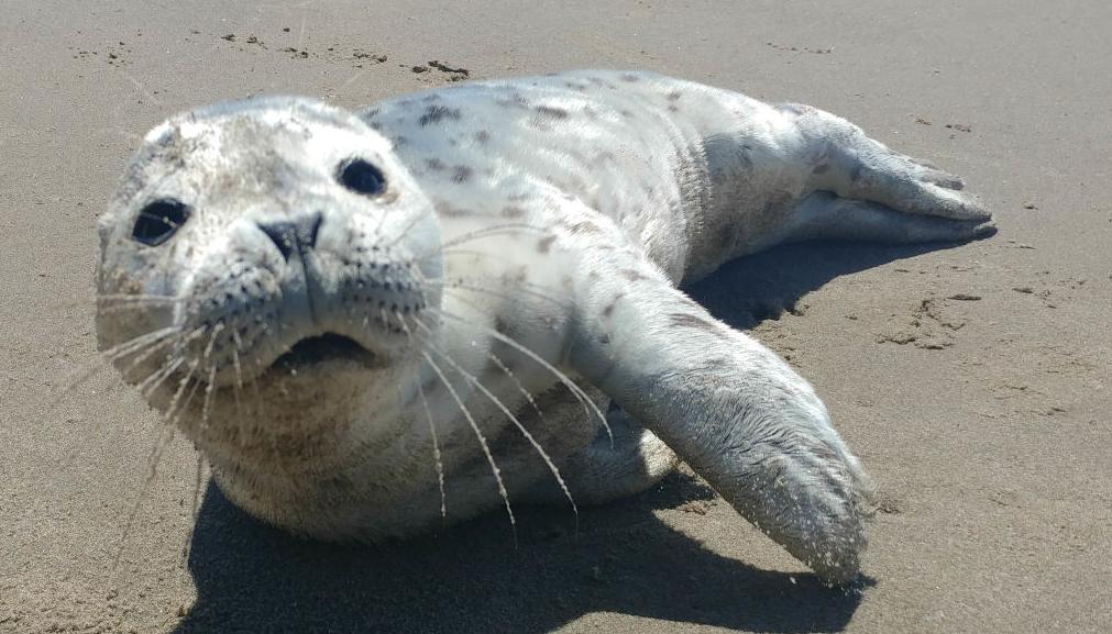 Harbor seal pup in Seaside